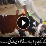 Cow voluntarily lays down to be slaughtered after being asked by owner!